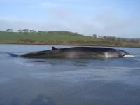 fin-whale-2009